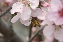 三月桃花开  嗡嗡蜜蜂来  6