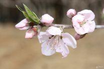 三月桃花开  嗡嗡蜜蜂来  1