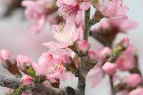 三月桃花开  嗡嗡蜜蜂来  5