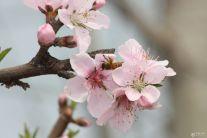 三月桃花开  嗡嗡蜜蜂来  4