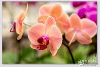 骑行兴隆花卉市场拍花卉之蝴蝶兰