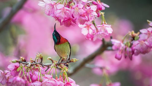 樱花仙子太阳鸟